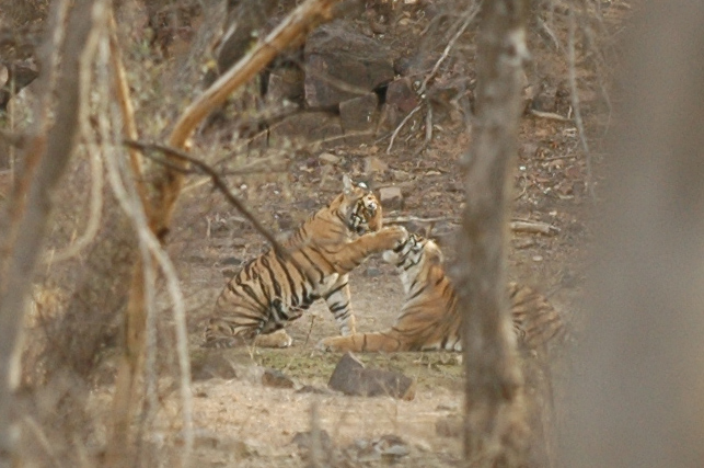 Ranthambore National Park: Tiger cubs playing.