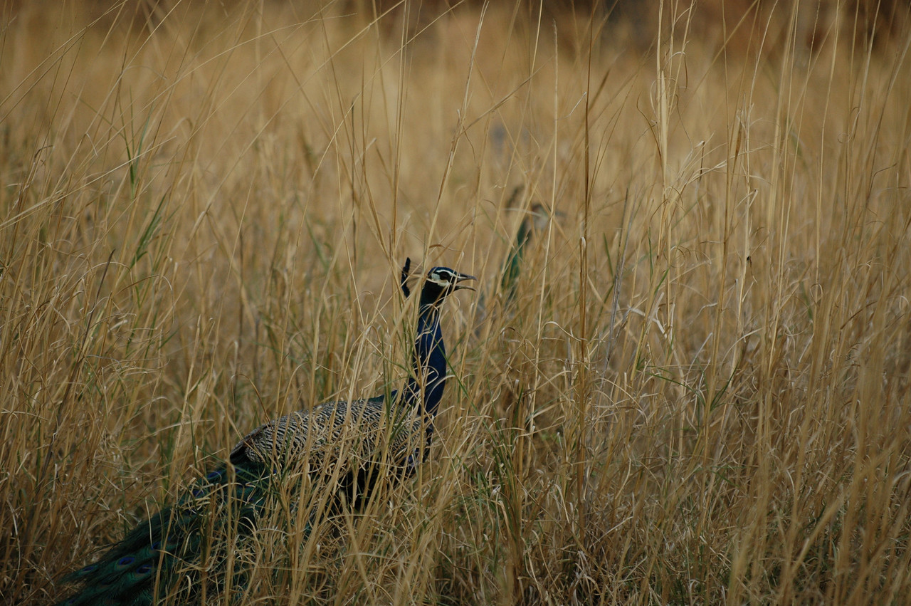 Ranthambore National Park: Peacock