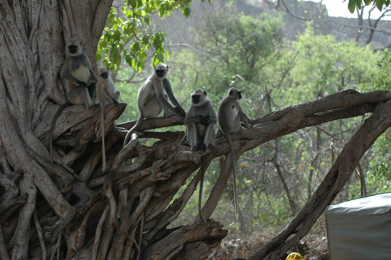 Ranthambore National Park: Black Faced Monkeys