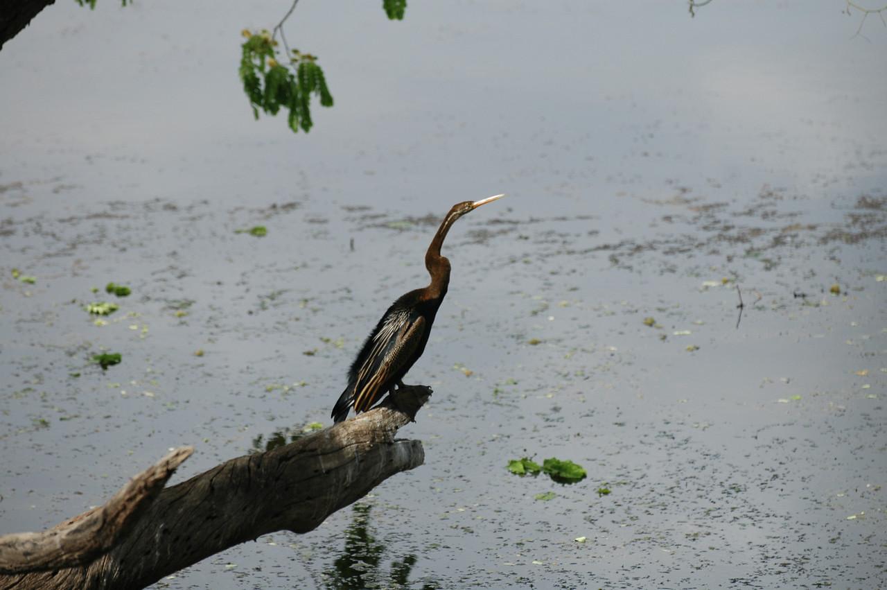 Ranthambore National Park: Heron