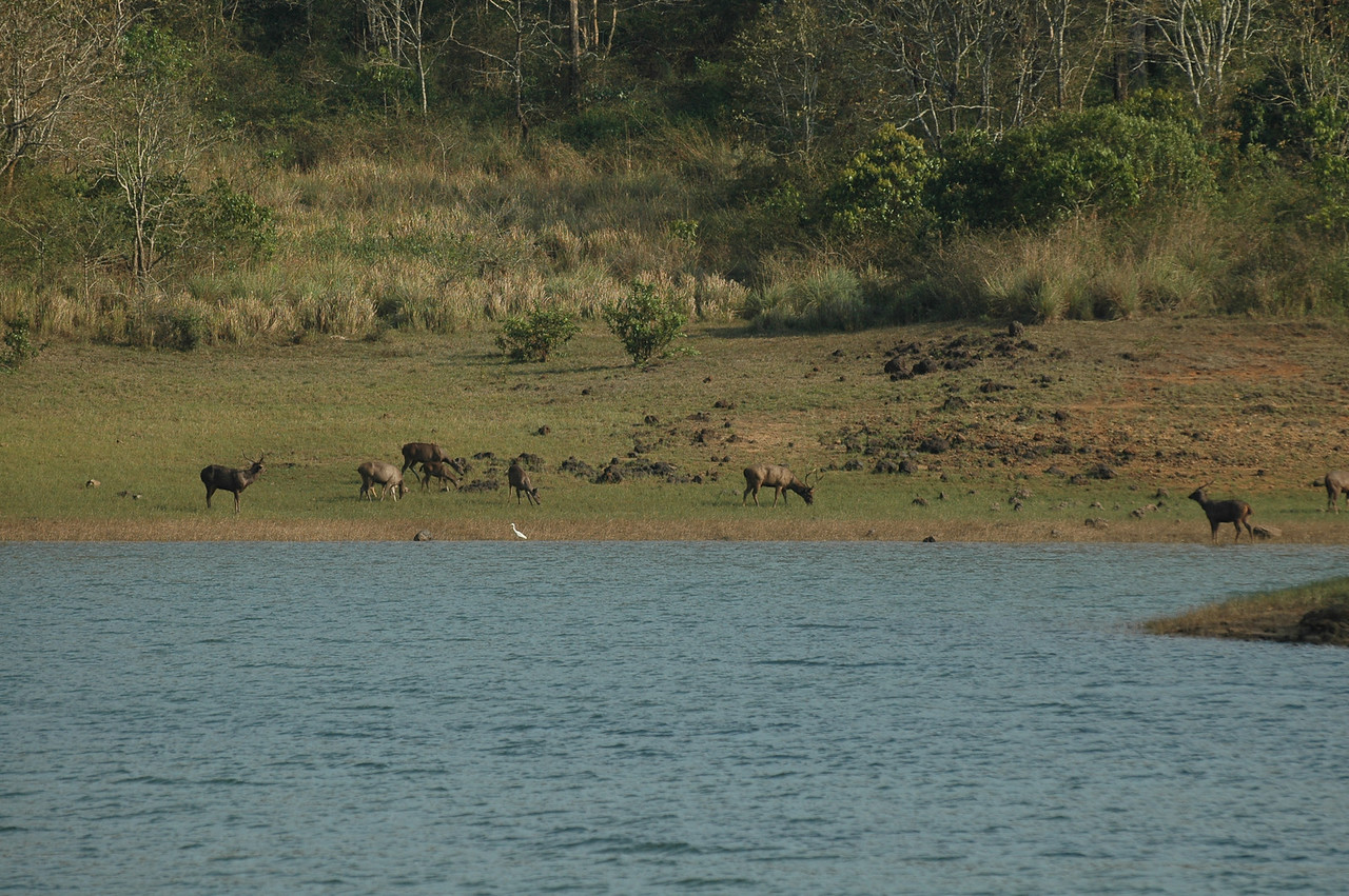 Animals graze on the shoreline along the lake at the Periyar Wildlife Preserve