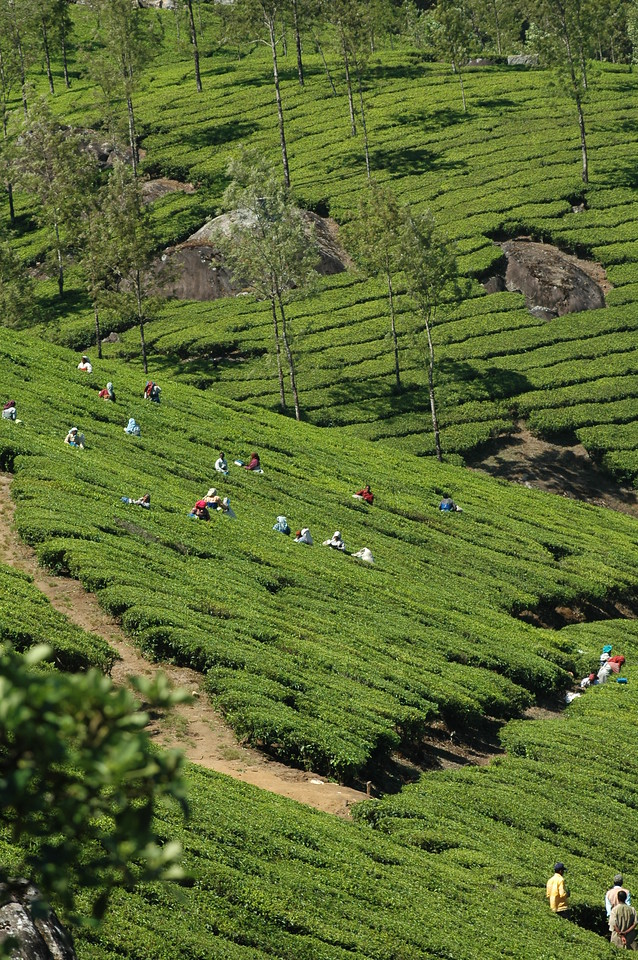 Harvesting tea in Munnar