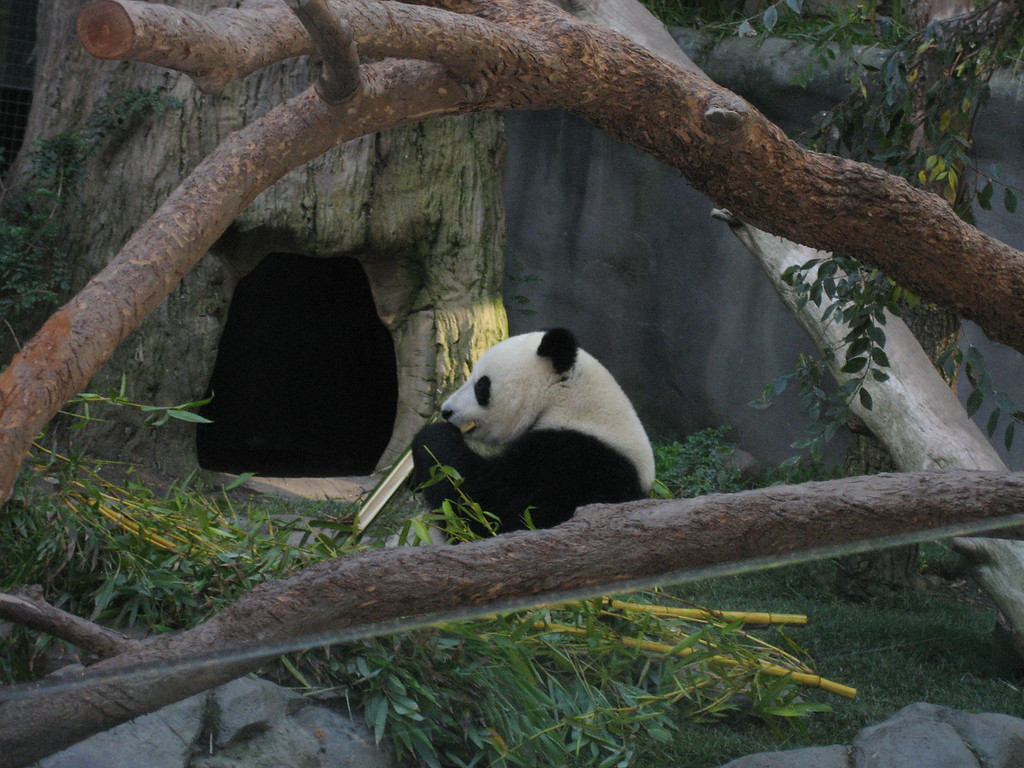 Panda at the San Diego Zoo