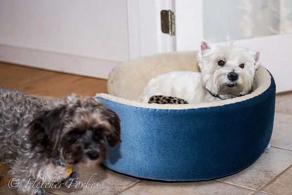 Toto is circling Sean's bed, in hopes he can snag the leopard fur toy. Sean is not in the mood to share.