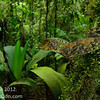 -in progress-  Rara Avis Rainforest Reserve Las Horquetas, Costa Rica  (<i>Norops capito</i>), Costa Rica