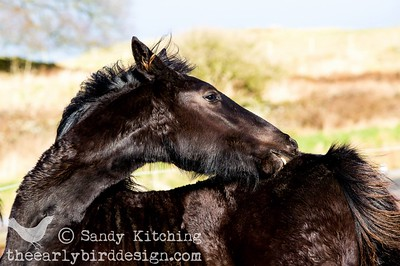 Sjouke Friesian foal Feb 2014
