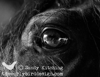 Friesian Black Horses eyes 2014