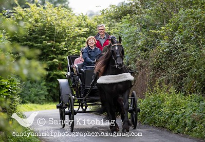 Friesian Carriage Driving lesson Aug 2015