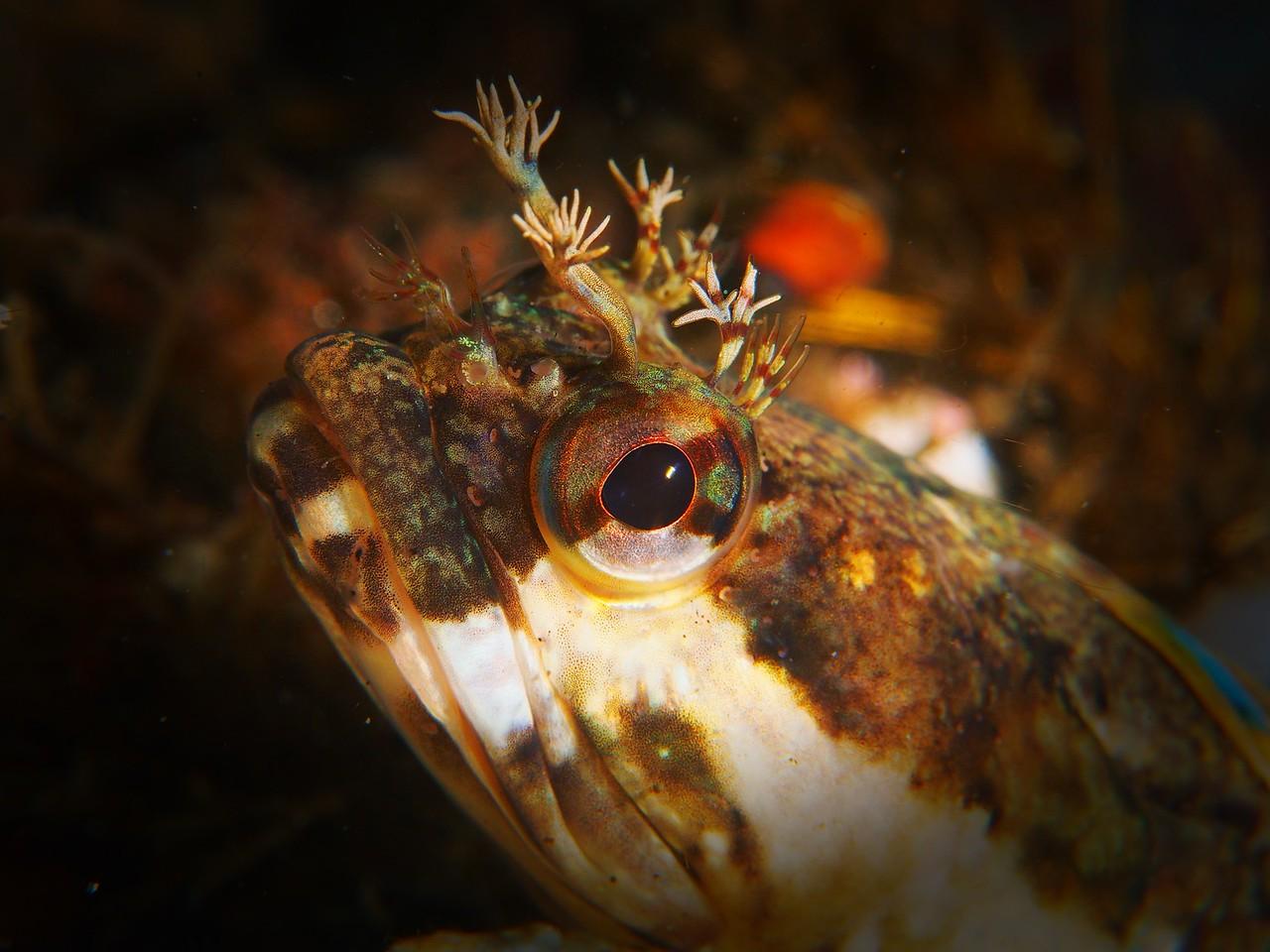 Neoclinus uninotatus (onespot fringehead)