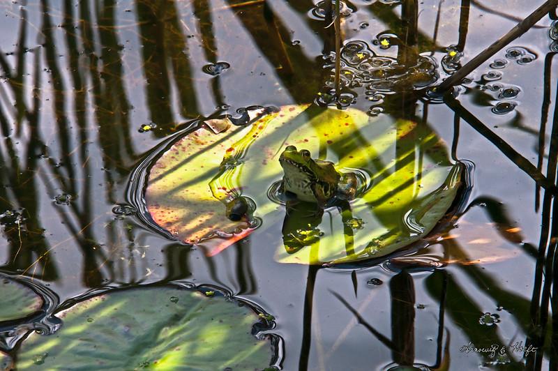 Pond Frog 7/24/2014