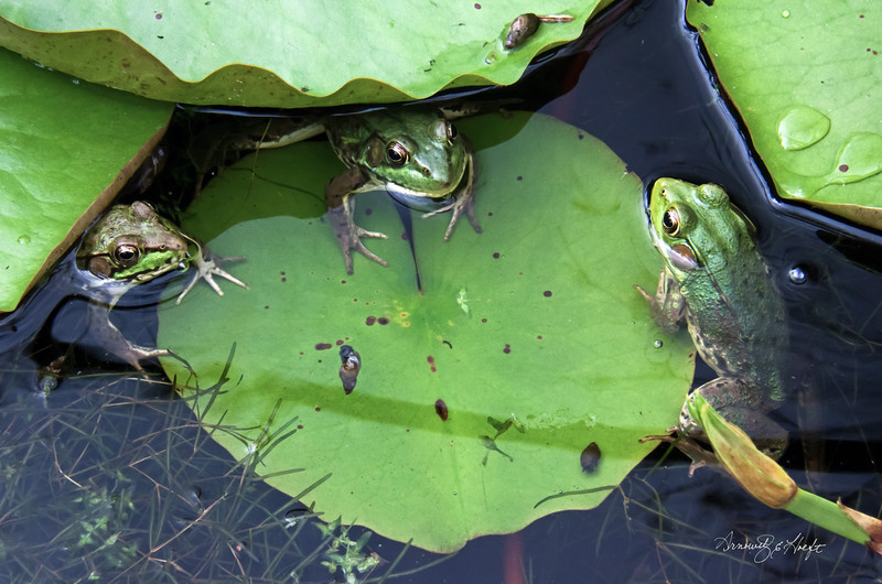 Frogs Around Lily Pad Table  6/7/16