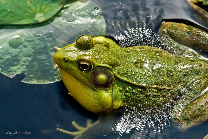 Croaking Frog 6/15/2008