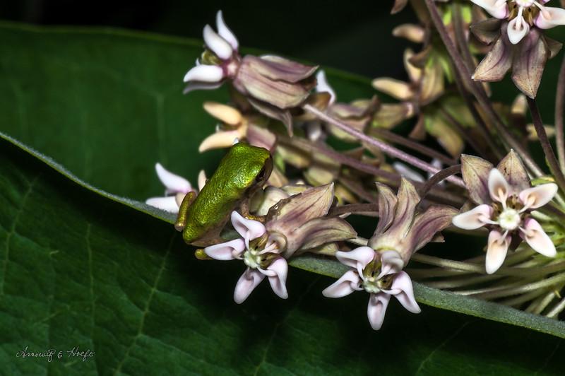 Tree Frog  6/26/2010