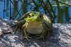 Happy Frog 9/24/15