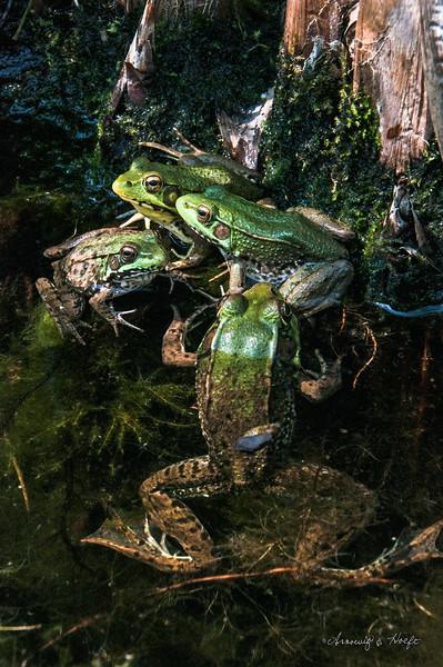 Frog  Gathering    7/21/2014