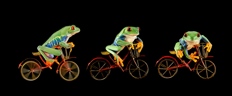 Frogscapes026_Cuchara_three red-eyed green tree frogs on bicycles AM2