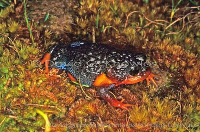 Australian Frogs Myobatrachidae (Australian Burrowing Frogs)