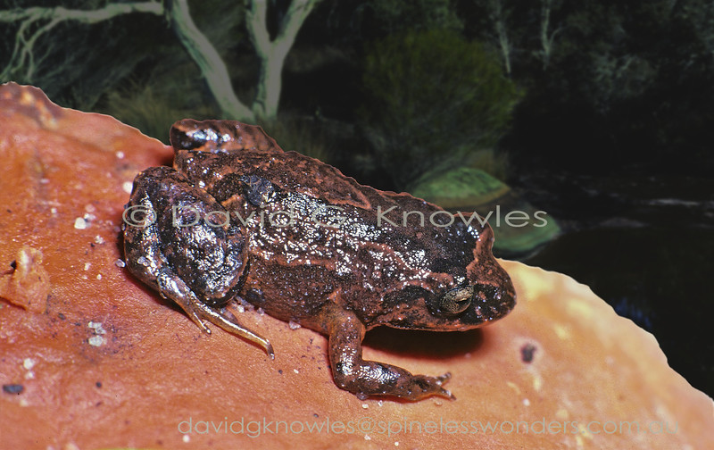 The Roseate Frog Geocrinia rosea