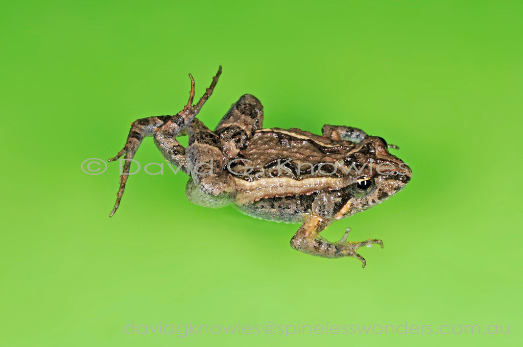 Squelching Froglets (Crinia insignifera) always prefer that a predator will attempt to grab them from behind the back feet jam the gaping mouth and the powerful thigh muscles propel the froglet away from the questing mouth