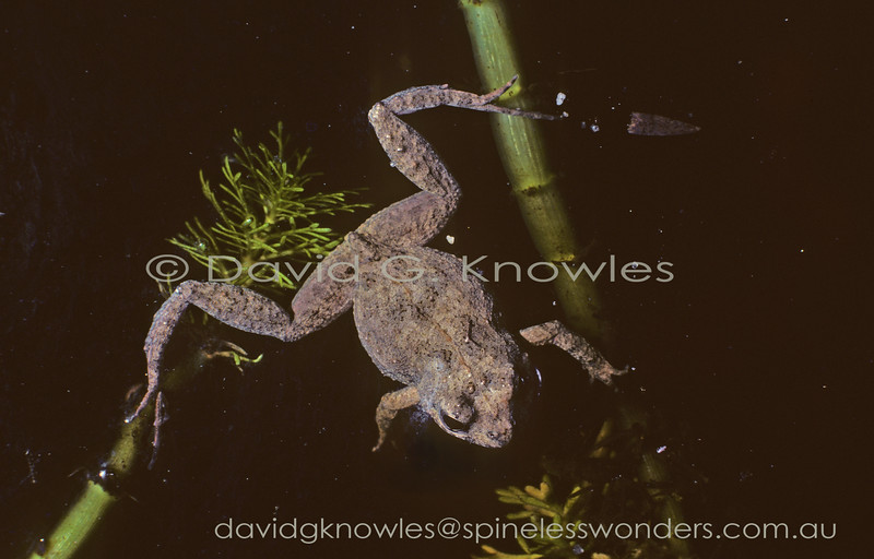 The Clicking Froglet Crinia glauerti