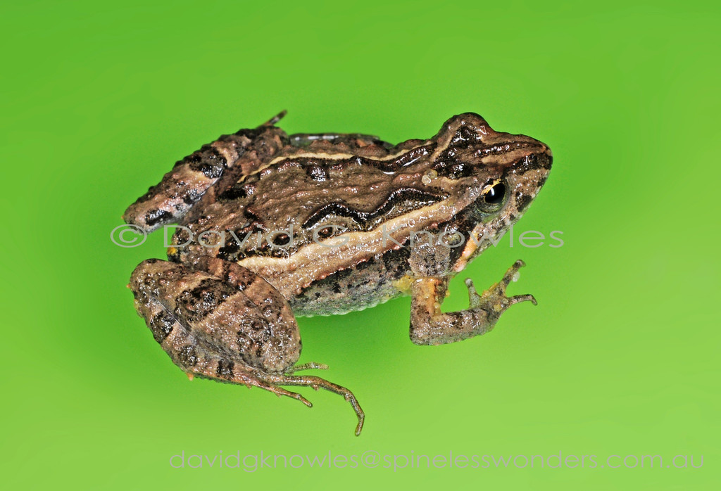 The Squelching Froglet Crinia insignifera