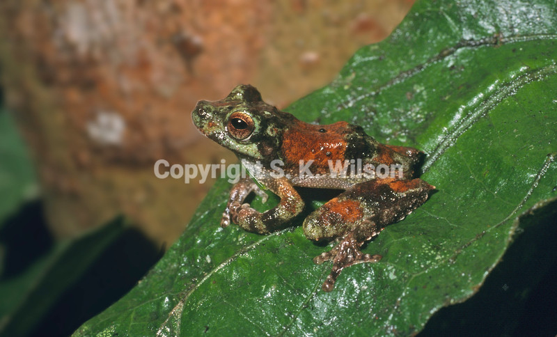 This tree frog is endemic to New Guinea and adjacent north eastern Queensland, Australia