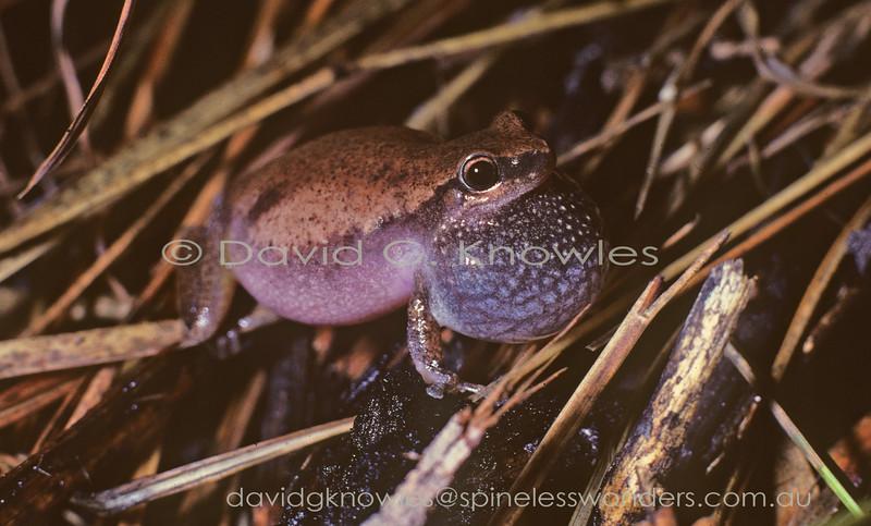 The Desert tree frog Litoria rubella Male (calling)