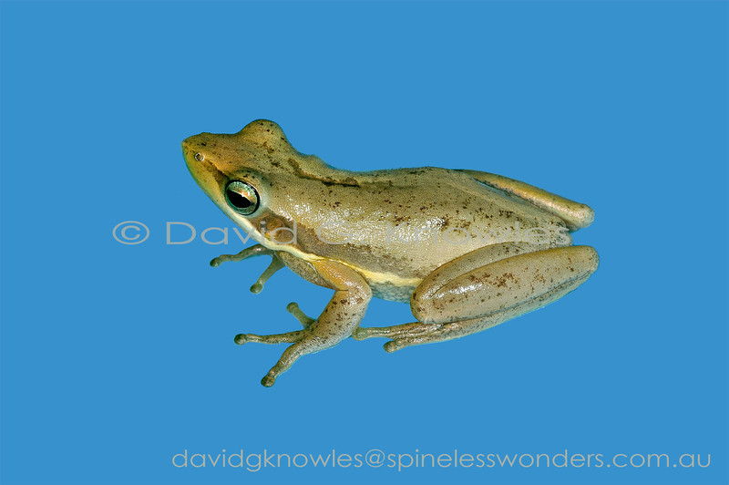 Slender Tree Frog on uniform background. This species is usually brown though can have forms grading to dull green