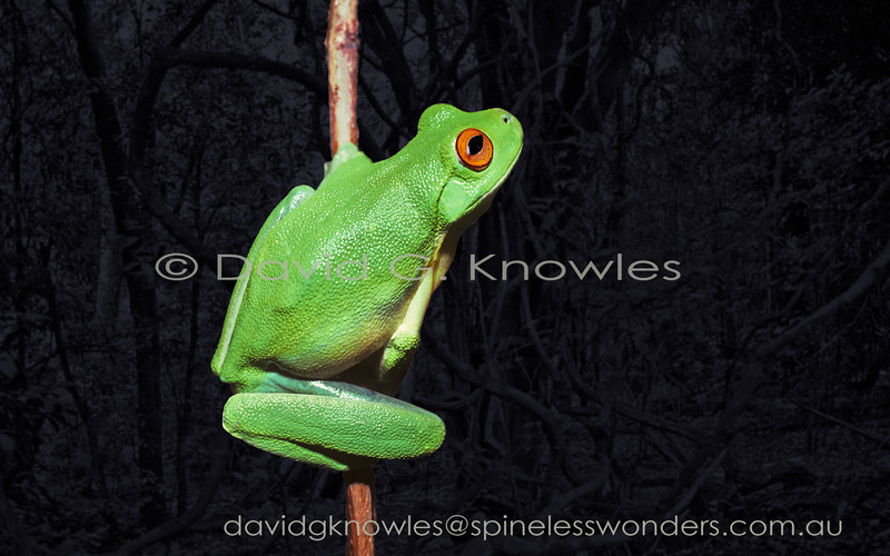 A Red-eyed Tree frog spies a moth alighting on a branch above