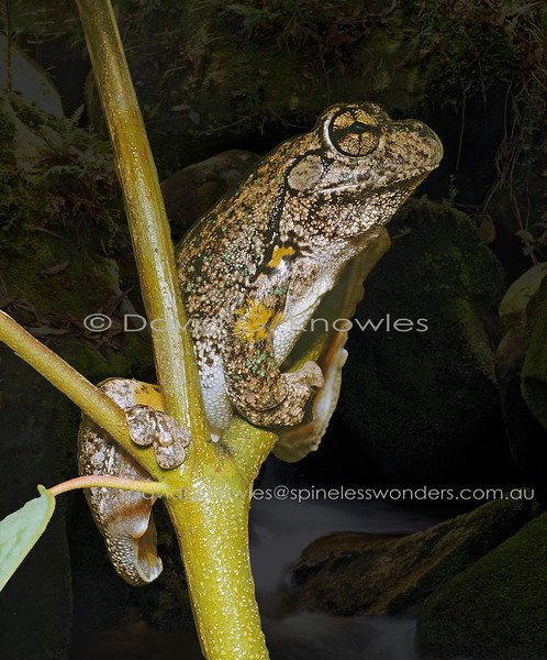 Peron's Tree frog listens to another male calling nearby