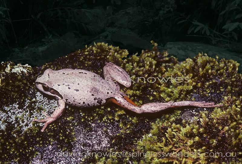 Jervis Bay Tree Frog showing distinctive orange thigh pattern