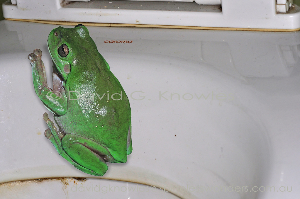 The Green Tree Frog ubiquitous across northern Australia often enters older houses and buildings to live in toilet cisterns and under flushing rims providing quite a surprise to those unfamiliar with this habit