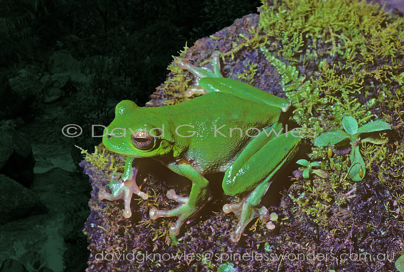 Mountain Stream Tree Frogs tend to stick close to waterside vegetation and boulders from the mountains to the mid reaches of fast east-flowing streams running off a specific part of the Great Dividing Ranges