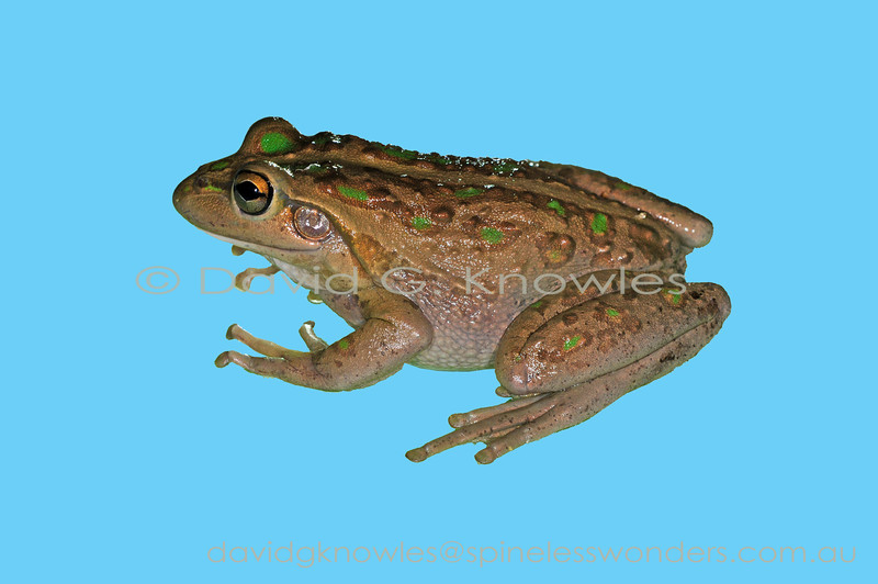 Motorbike Frogs are more commonly browner than green