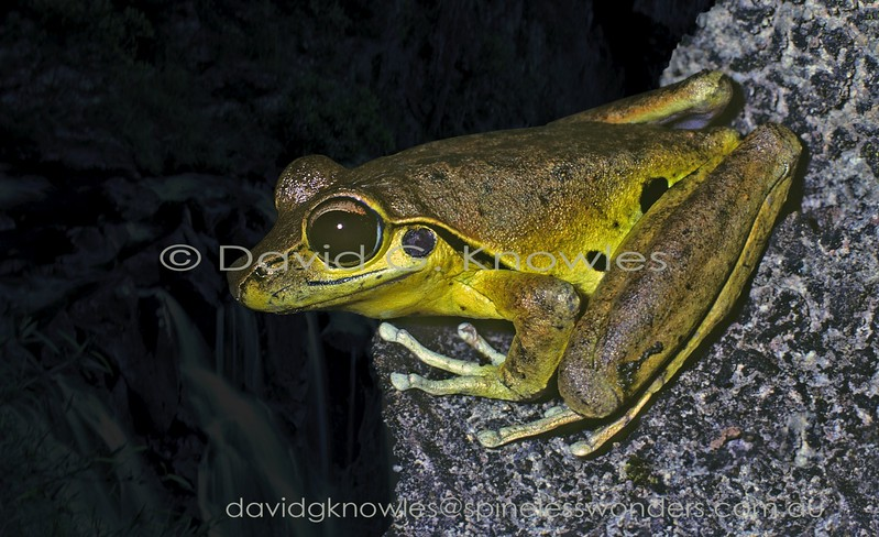 Litoria wilcoxii Male (yellow phase)