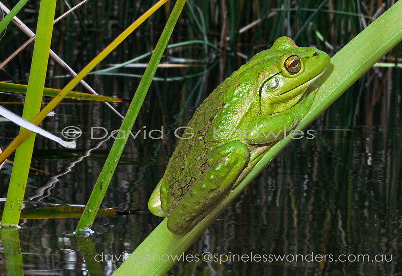 Motorbike Frogs are variable in colour from brown to this bright green example