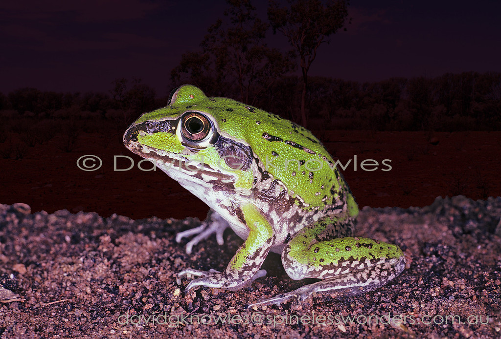 Subadult Striped Burrowing Frog forages away from the home water body as there are dangers from larger frogs and snakes