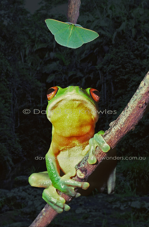 A Red-eyed Tree frog prepares to grab a Geometer moth alighting on a branch above