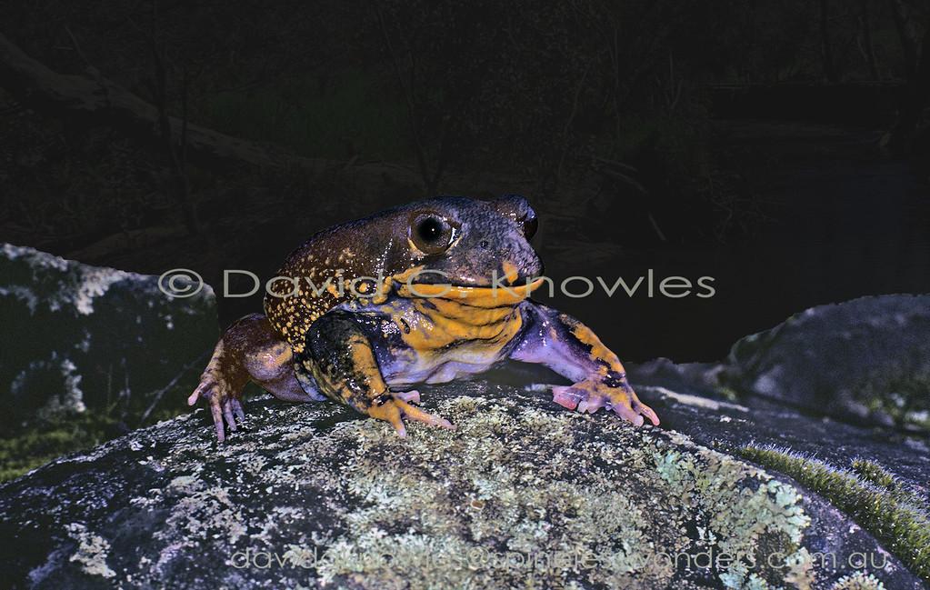 The Western Hooting Frog Heleioporus barycragus