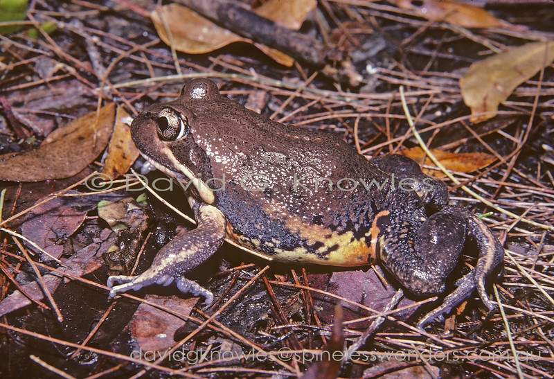 Northern Banjo Frog makes its way to swamp from burrow after sundown