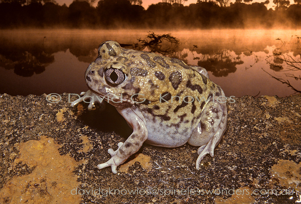 Kunapalari Trilling Frog heads for burrow in an early morning ephemeral lake mist
