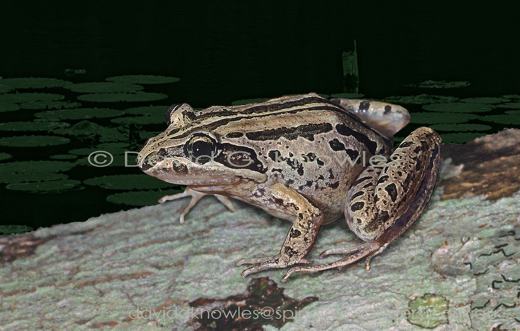 The Striped Marsh Frog Limnodynastes peronii