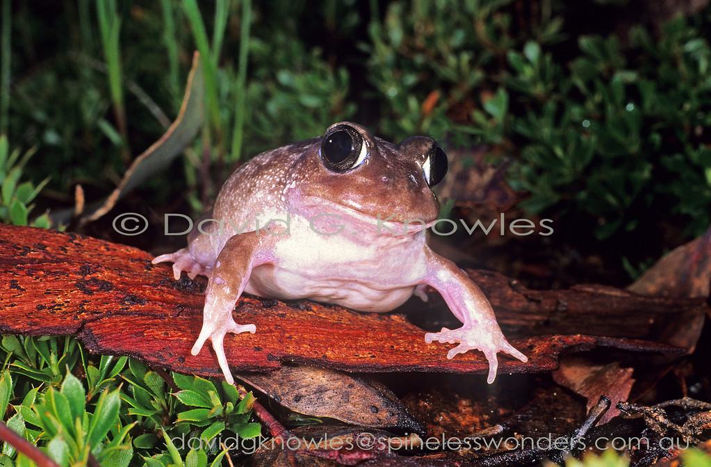 Brown Whooping Frog makes its way from burrow towards a newly filled swamp where potential mates can be heard calling