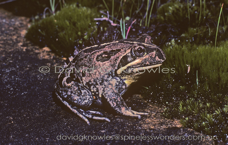 An adult Western Banjo Frog Limnodynastes dorsalis