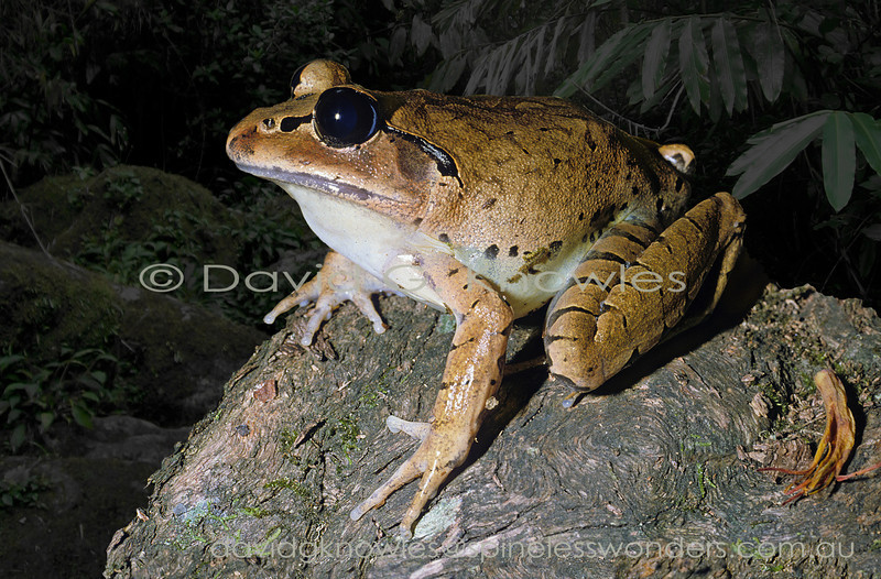 Great Barred Frog listens to creekside noises trying to hear a calling male upstream