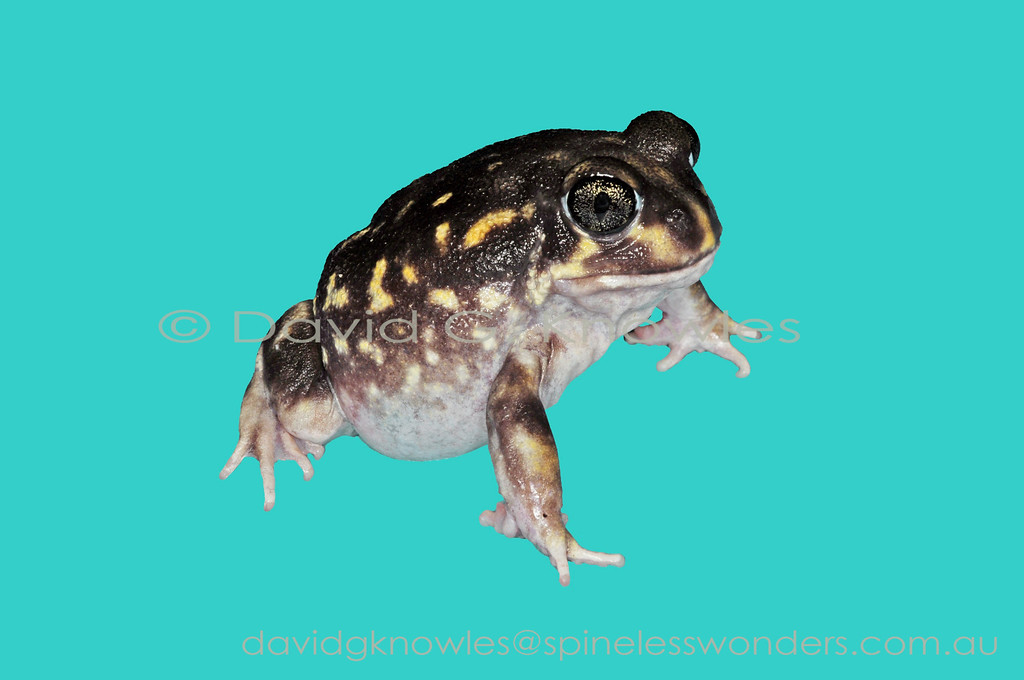 Western Spotted Frog on uniform background