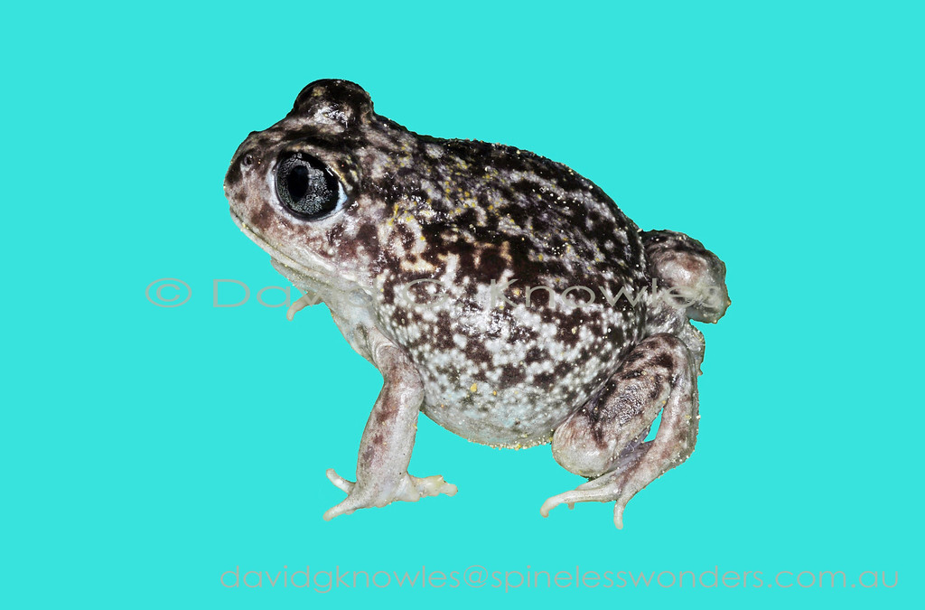 Sand Frogs blend well into the white quartz sands that characterise their habitat
