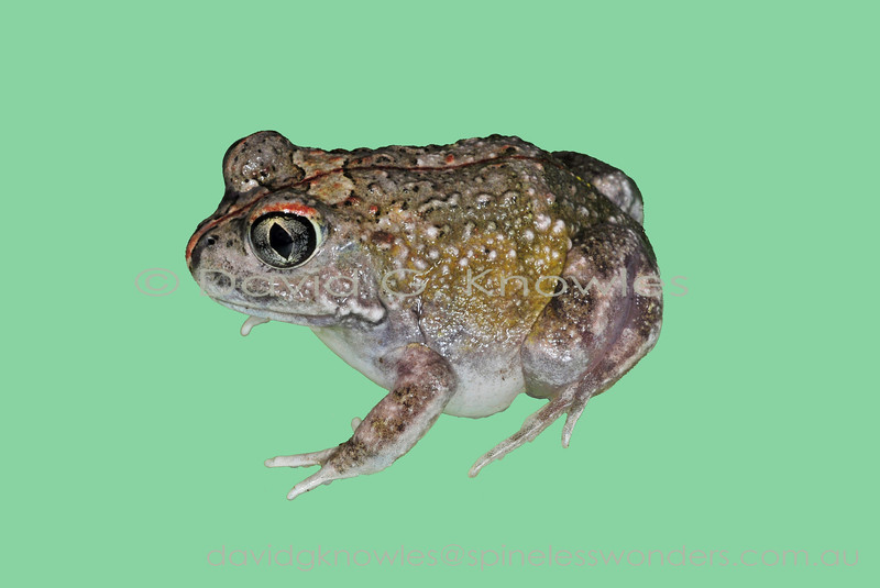 Humming Frogs are variably patterned though breeding males consistently produces a distinctive humming call