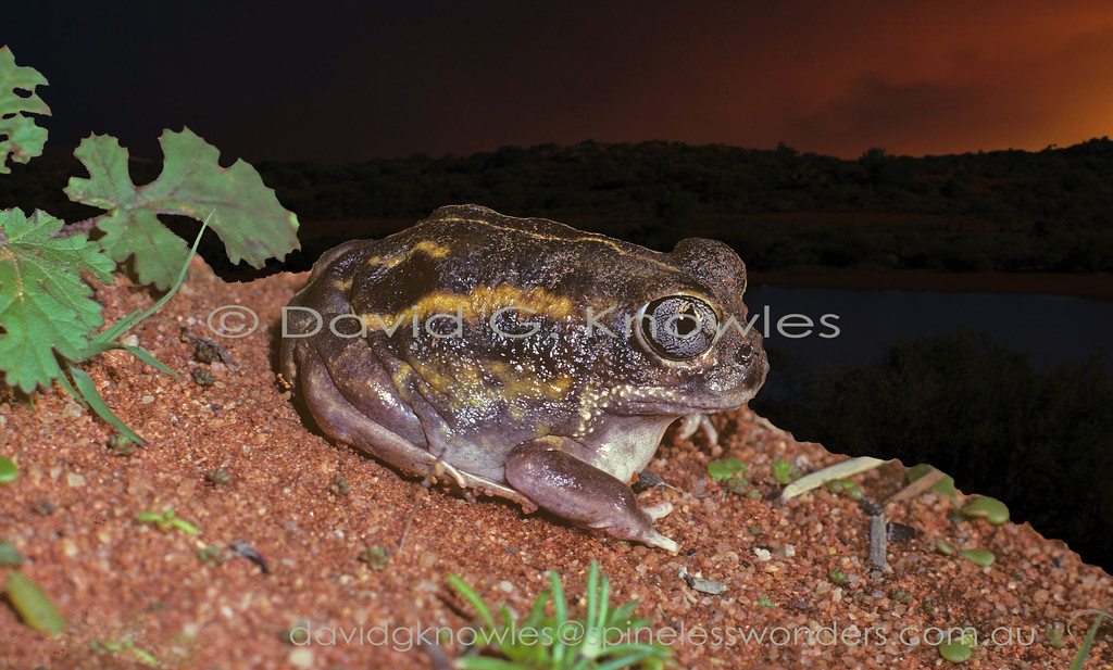 The Plonking Frog Neobatrachus wilsmorei