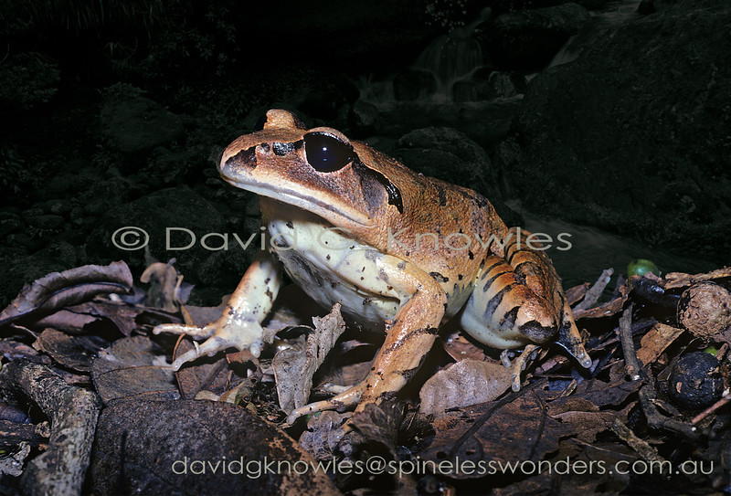 Great Barred Frog sees a large beetle land in the leaf-litter a few hops away